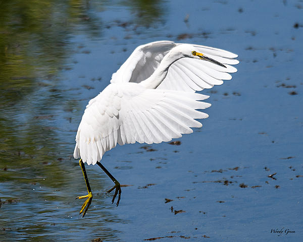 Woody's 2017 Wildlife, Nature and Other Stuff-snowyegret-205.jpg