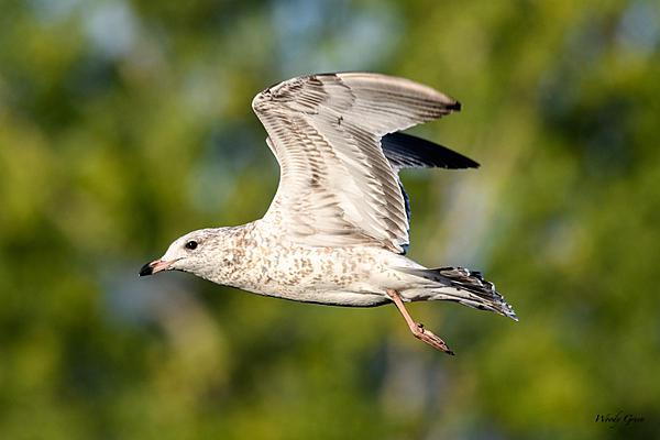 Woody's 2017 Wildlife, Nature and Other Stuff-gull-214.jpg