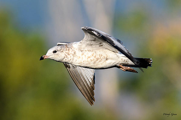 Woody's 2017 Wildlife, Nature and Other Stuff-gull-217.jpg