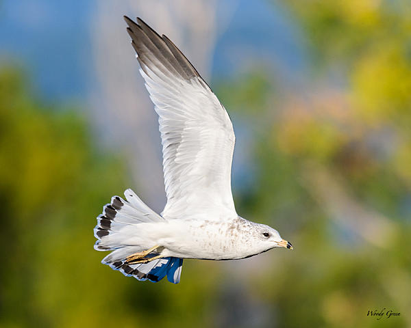 Woody's 2017 Wildlife, Nature and Other Stuff-gull-219.jpg