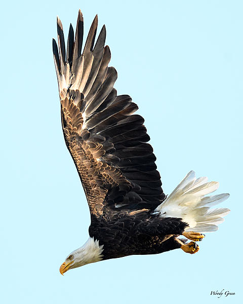 Woody's 2017 Wildlife, Nature and Other Stuff-baldeagle-220.jpg