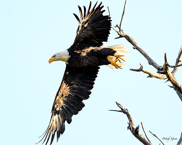 Woody's 2017 Wildlife, Nature and Other Stuff-baldeagle-222.jpg