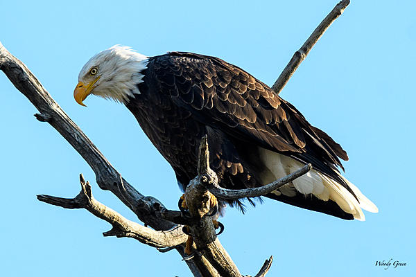 Woody's 2017 Wildlife, Nature and Other Stuff-baldeagle-223.jpg