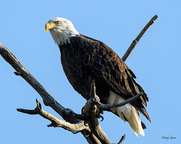 Woody's 2017 Wildlife, Nature and Other Stuff-baldeagle-224.jpg