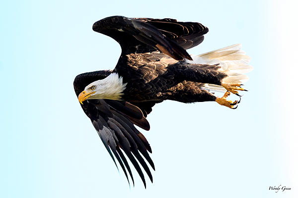 Woody's 2017 Wildlife, Nature and Other Stuff-baldeagle-250.jpg