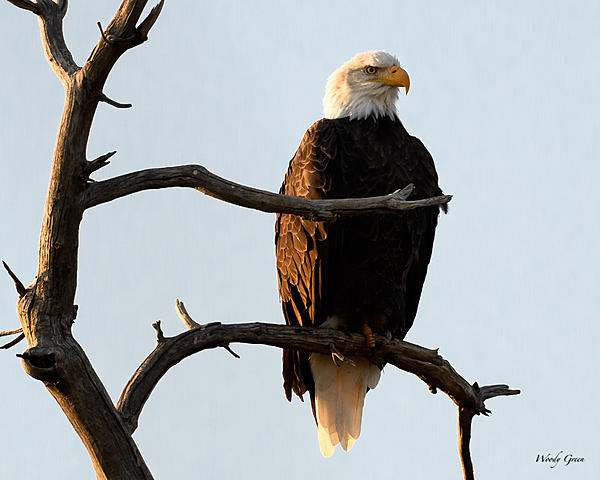 Woody's 2017 Wildlife, Nature and Other Stuff-baldeagle-251.jpg