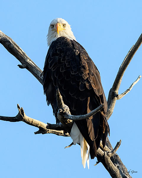 Woody's 2017 Wildlife, Nature and Other Stuff-baldeagle-227.jpg