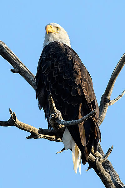 Woody's 2017 Wildlife, Nature and Other Stuff-baldeagle-228.jpg