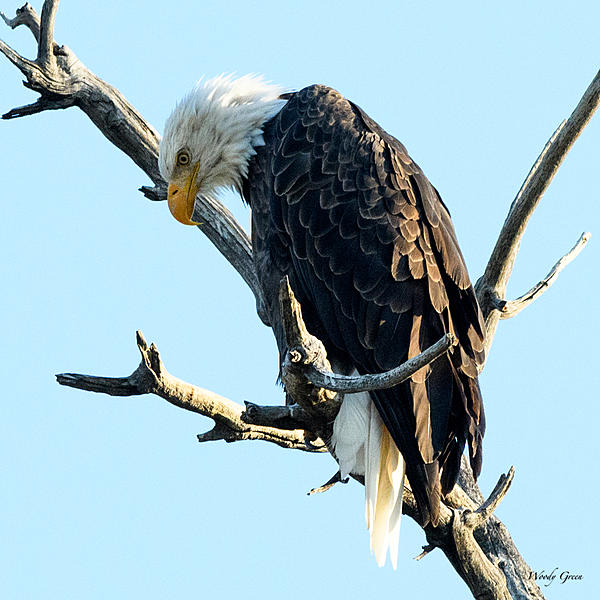 Woody's 2017 Wildlife, Nature and Other Stuff-baldeagle-229.jpg