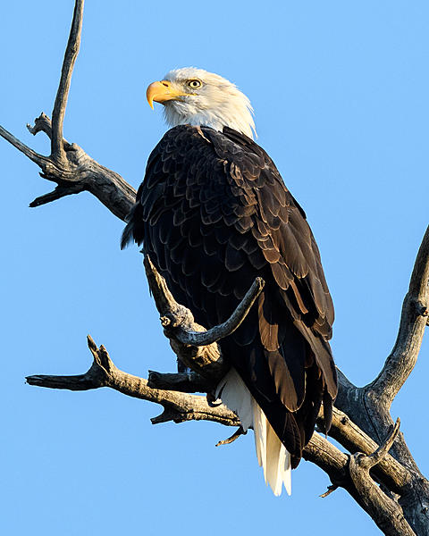 Woody's 2017 Wildlife, Nature and Other Stuff-baldeagle-232.jpg