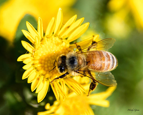 Woody's 2017 Wildlife, Nature and Other Stuff-bee-277.jpg