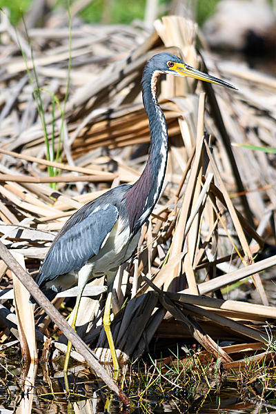 Woody's 2017 Wildlife, Nature and Other Stuff-tricoloredheron-200.jpg