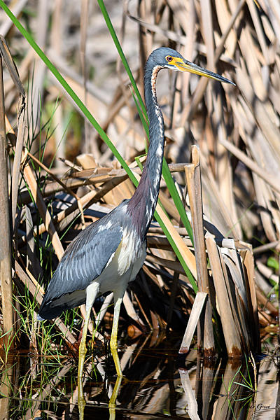 Woody's 2017 Wildlife, Nature and Other Stuff-tricoloredheron-201.jpg