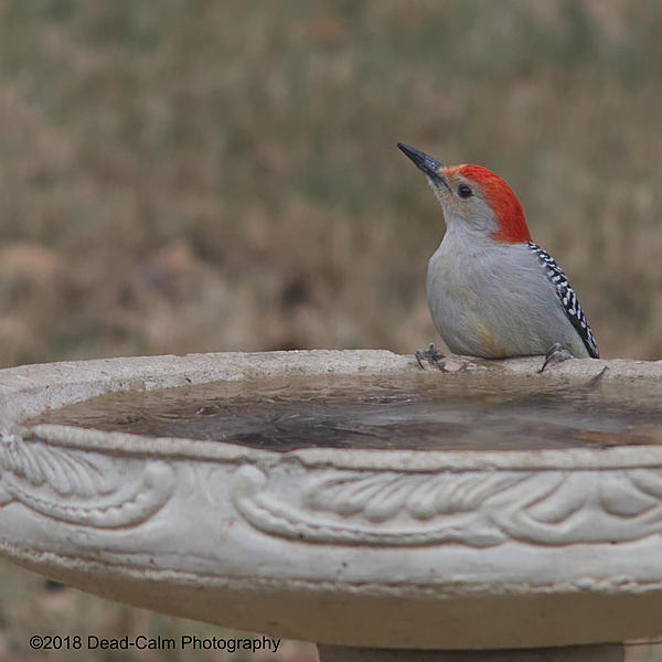 Dawg Pics' New Adventures of the D500 (and maybe the D300)-woodpecker_500_2573.jpg