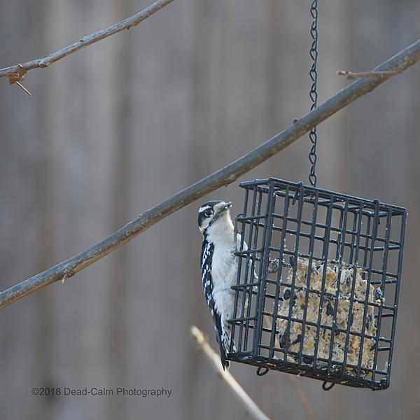 Dawg Pics' New Adventures of the D500 (and maybe the D300)-woodpecker_-500_2810.jpg