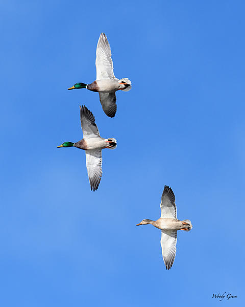 Woody's Wildlife, Nature and Other Stuff 2018-duckformation-300.jpg