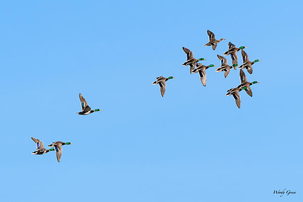 Woody's Wildlife, Nature and Other Stuff 2018-duckformation-301.jpg