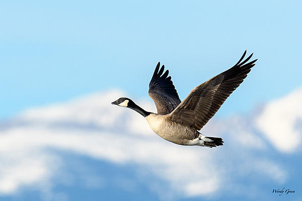 Woody's Wildlife, Nature and Other Stuff 2018-gooseflight-302.jpg