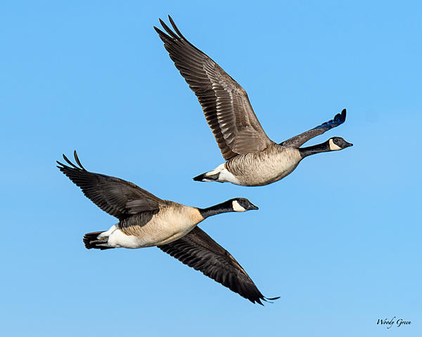 Woody's Wildlife, Nature and Other Stuff 2018-gooseflight-306.jpg