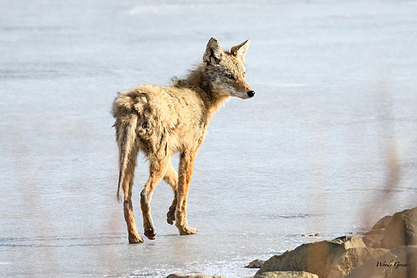 Woody's Wildlife, Nature and Other Stuff 2018-coyote-303.jpg