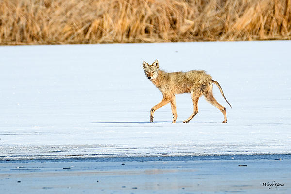 Woody's Wildlife, Nature and Other Stuff 2018-coyote-304.jpg