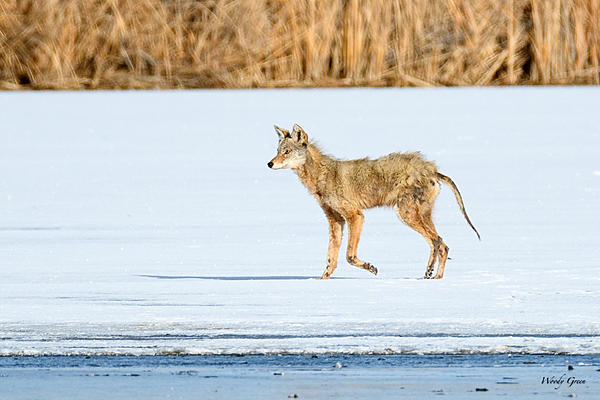 Woody's Wildlife, Nature and Other Stuff 2018-coyote-305.jpg