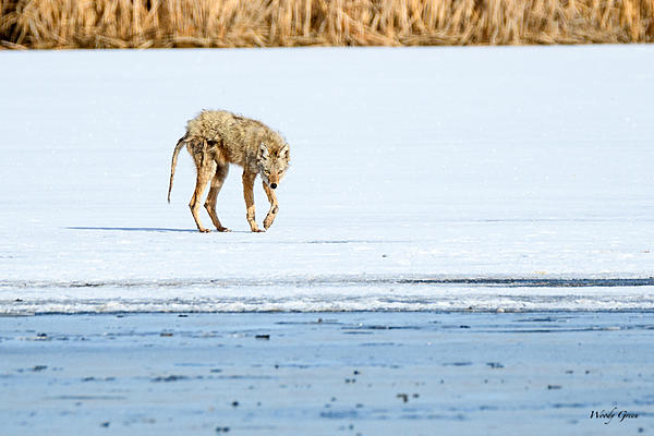 Woody's Wildlife, Nature and Other Stuff 2018-coyote-306.jpg