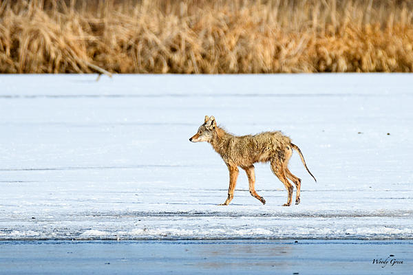 Woody's Wildlife, Nature and Other Stuff 2018-coyote-307.jpg