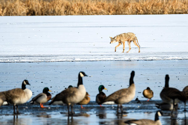 Woody's Wildlife, Nature and Other Stuff 2018-coyote-308.jpg