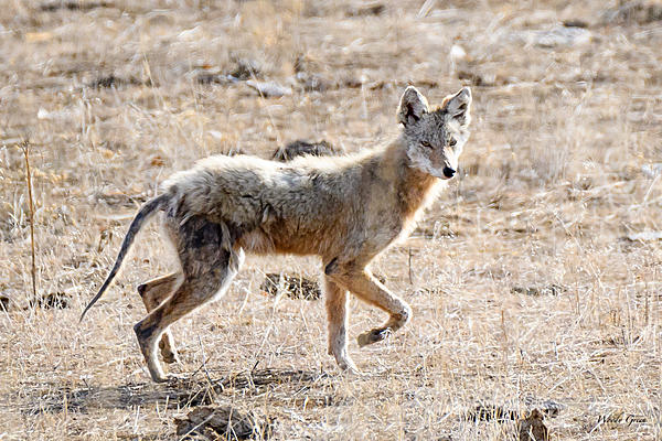 Woody's Wildlife, Nature and Other Stuff 2018-coyote-300.jpg