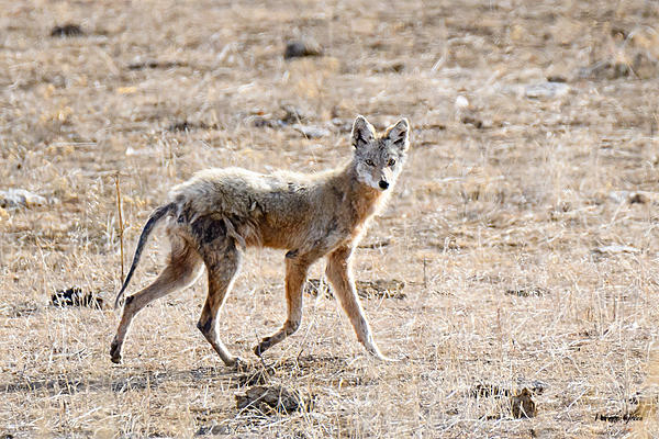 Woody's Wildlife, Nature and Other Stuff 2018-coyote-301.jpg