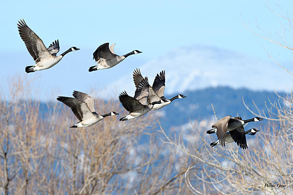 Woody's Wildlife, Nature and Other Stuff 2018-geeseinflight-320.jpg