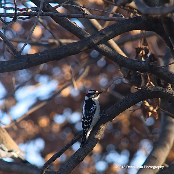 Dawg Pics' New Adventures of the D500 (and maybe the D300)-downy-woodpecker-n500_4381.jpg