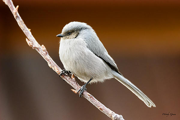 Woody's Wildlife, Nature and Other Stuff 2018-bushtit-300.jpg