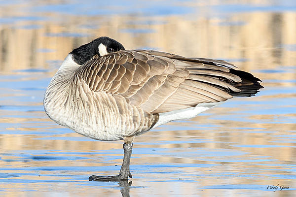 Woody's Wildlife, Nature and Other Stuff 2018-gooseice-300.jpg