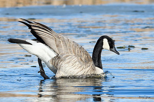 Woody's Wildlife, Nature and Other Stuff 2018-gooseice-301.jpg
