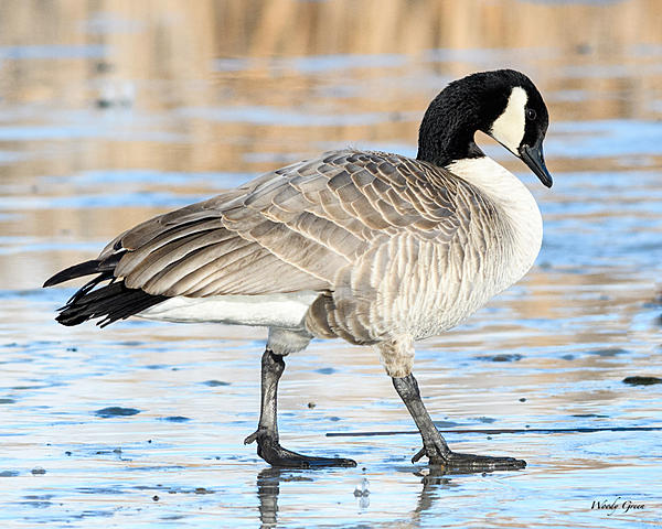 Woody's Wildlife, Nature and Other Stuff 2018-gooseice-302.jpg