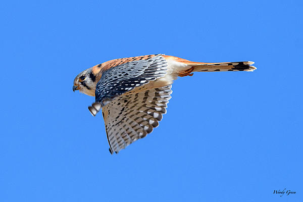 Woody's Wildlife, Nature and Other Stuff 2018-kestrel-310.jpg