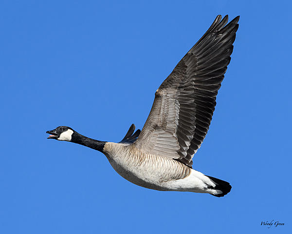 Woody's Wildlife, Nature and Other Stuff 2018-gooseflight-330.jpg