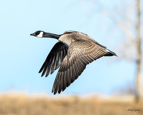 Woody's Wildlife, Nature and Other Stuff 2018-gooseflight-360.jpg