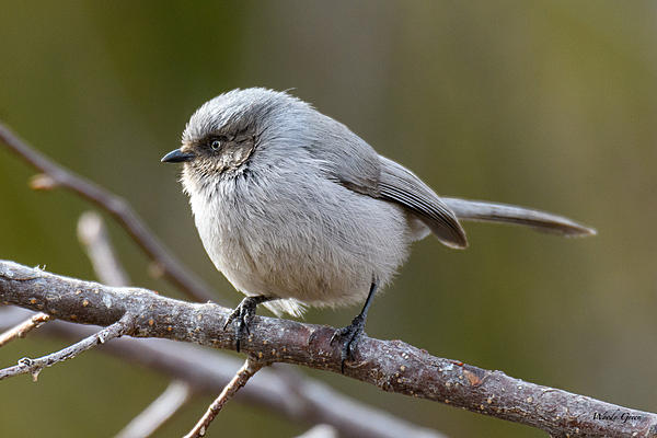 Woody's Wildlife, Nature and Other Stuff 2018-bushtit-310.jpg