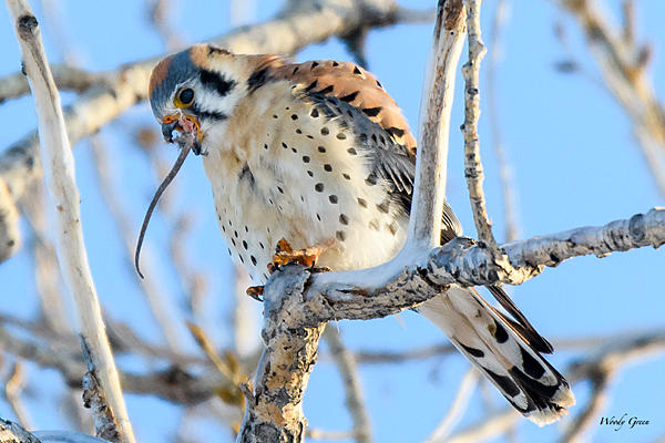 Woody's Wildlife, Nature and Other Stuff 2018-kestrel-331.jpg