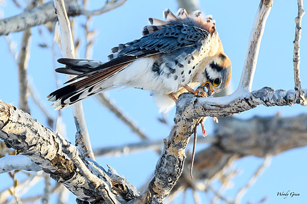 Woody's Wildlife, Nature and Other Stuff 2018-kestrel-336.jpg
