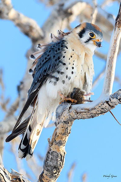 Woody's Wildlife, Nature and Other Stuff 2018-kestrel-337.jpg