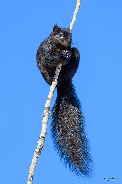 Woody's Wildlife, Nature and Other Stuff 2018-blacksquirrel-315.jpg