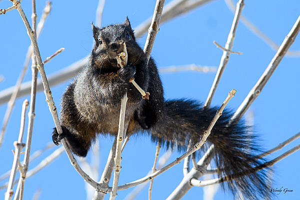 Woody's Wildlife, Nature and Other Stuff 2018-blacksquirrel-316.jpg