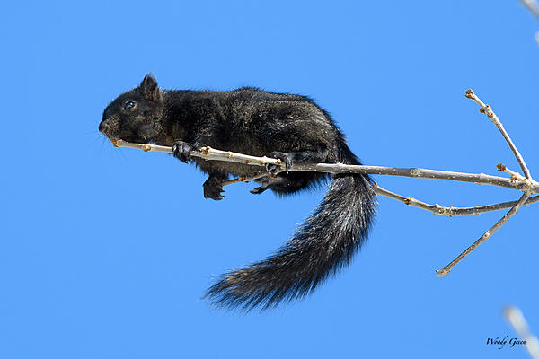 Woody's Wildlife, Nature and Other Stuff 2018-blacksquirrel-318.jpg