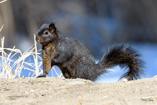 Woody's Wildlife, Nature and Other Stuff 2018-blacksquirrel-319.jpg