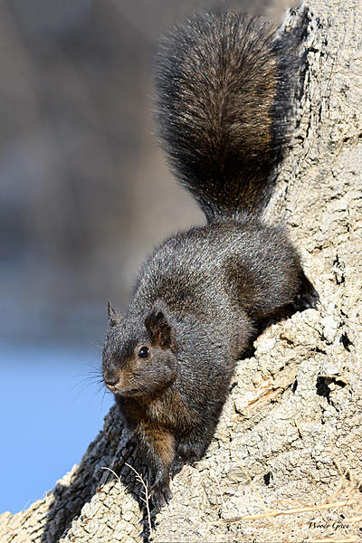 Woody's Wildlife, Nature and Other Stuff 2018-blacksquirrel-320.jpg