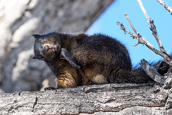 Woody's Wildlife, Nature and Other Stuff 2018-blacksquirrel-321.jpg